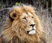 Study Suggests Regulated Hunting Might Be Best for African Lions