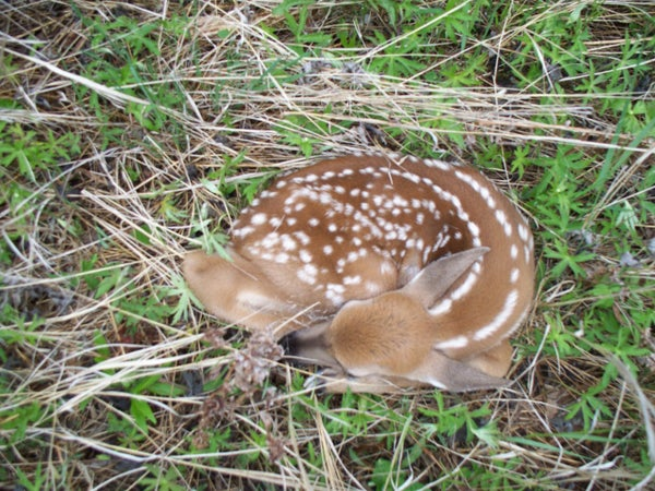 httpswww.outdoorlife.comsitesoutdoorlife.comfilesimport2013images20110341_Fawn01_NS_1.jpg