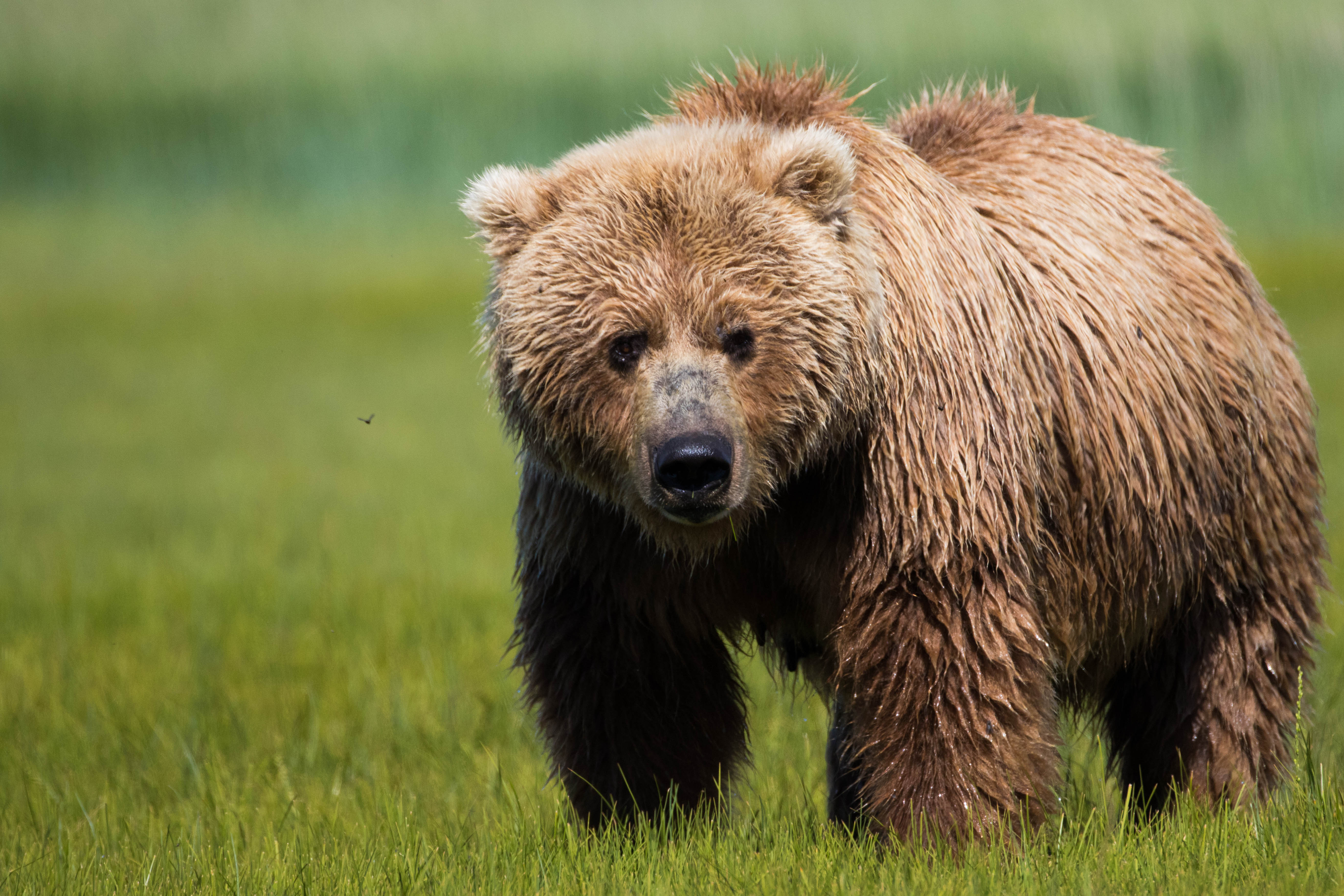 Thirteen Yards in One Second: Why You Can Never Outrun a Charging Bear