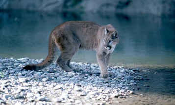 Colorado Hiker Sings Opera, Fends Off Mountain Lion Attack