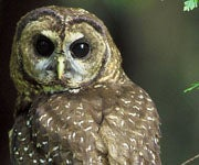 Officials Plan to Shoot Barred Owls to Protect Endangered Spotted Owls