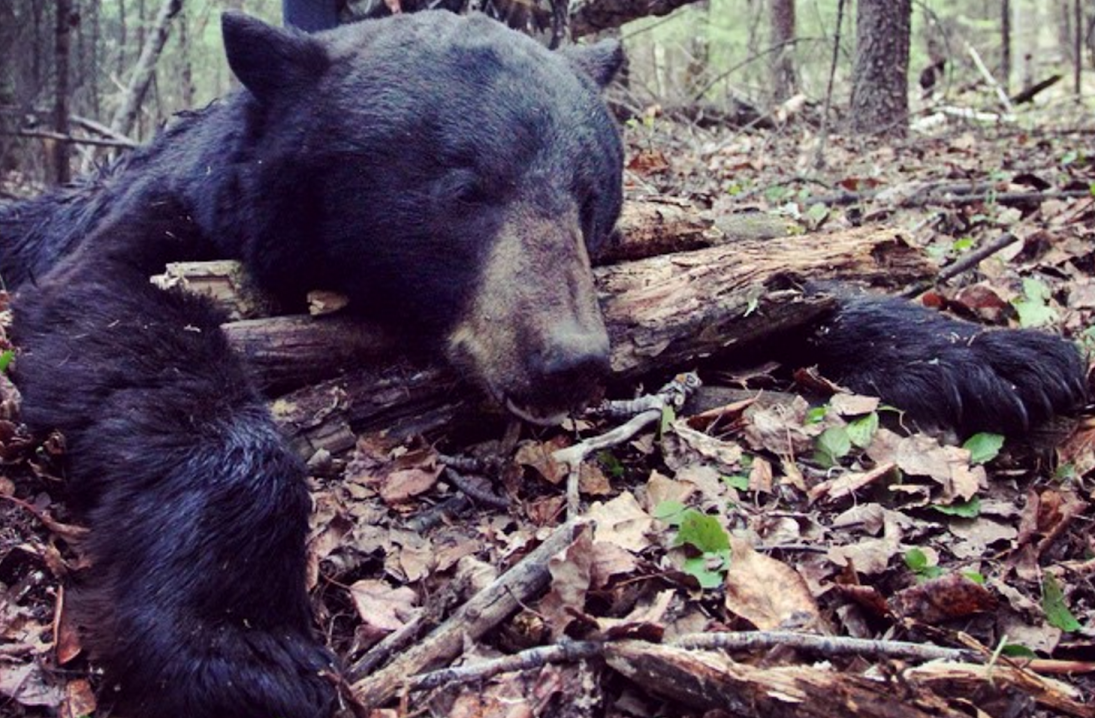 New Research Helps Explain How Black Bears Elude Hunters