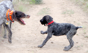 Hunting Dogs: How to Use the 'Law of the Pack' to Establish Order and Hierarchy with a Puppy