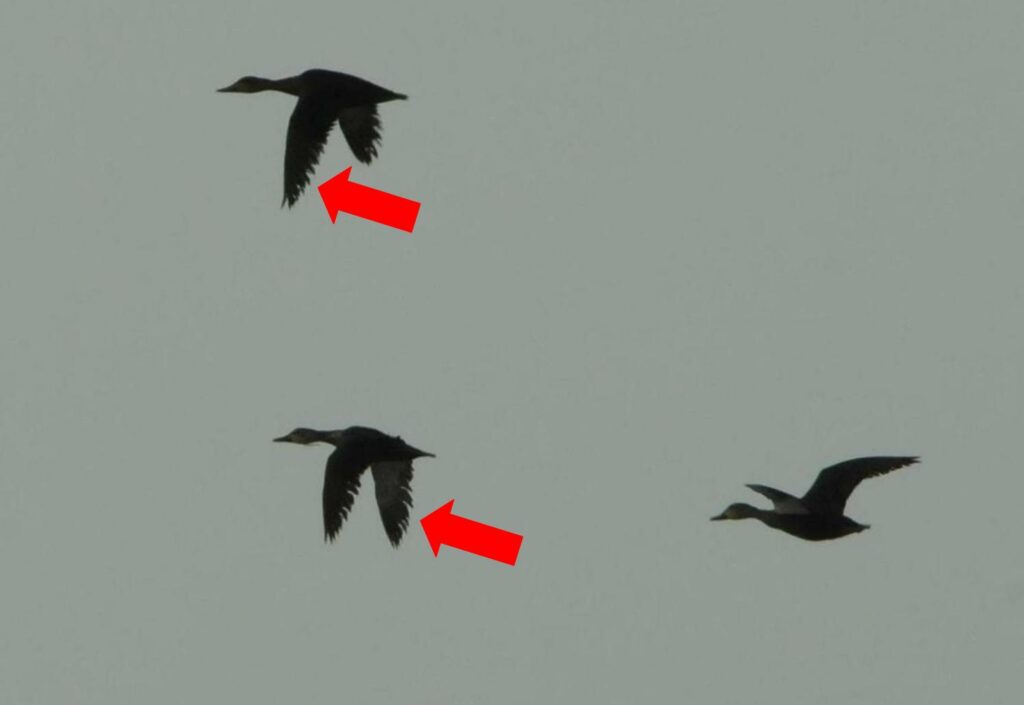 httpswww.outdoorlife.comsitesoutdoorlife.comfilesimport2014importImage2010photo6Oiled_mottled_duck_flight_feathers.jpg