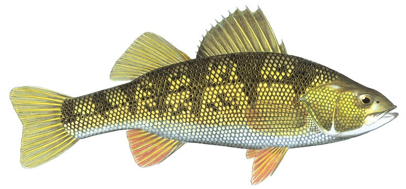httpswww.outdoorlife.comsitesoutdoorlife.comfilesimport2014importImage2010photo3001074_Yellow_Perch.jpg