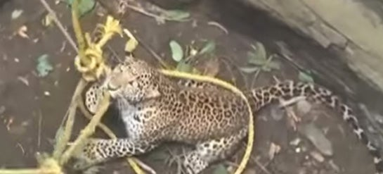 Video: Wild Leopard Rescued From Indian Well