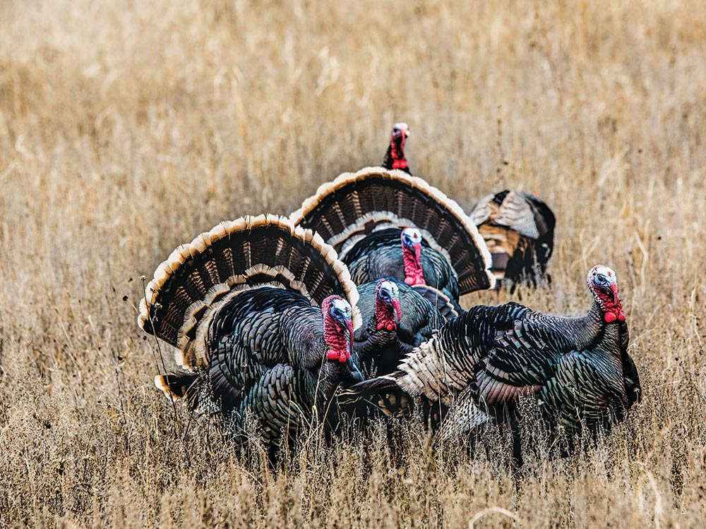 group merriam hybrid gobblers and jakes