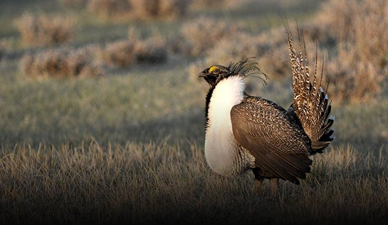 Montana Shortens, Closes Much of its Sage Grouse Season