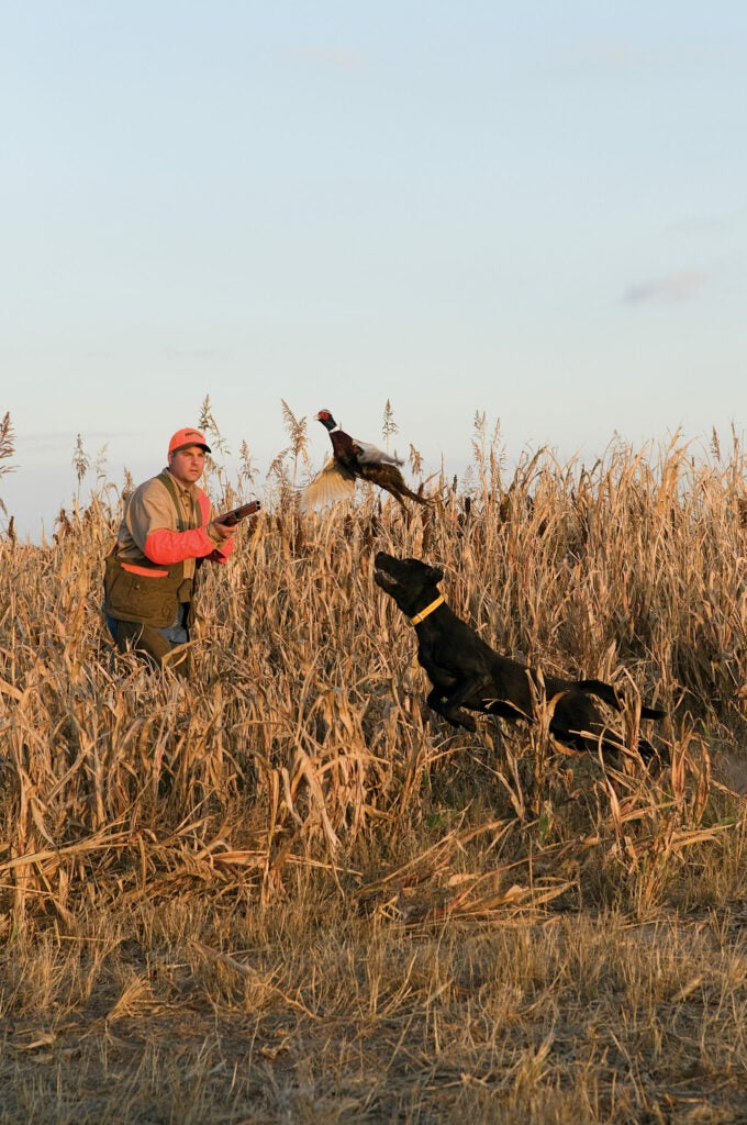 pheasant hunting tips to hit more roosters