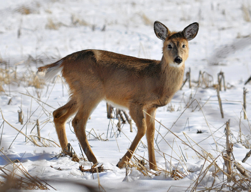 Deer Management Assistance Program: What it is and Why it Works