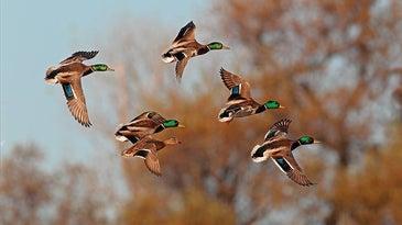 green headed mallard duck flock in flight