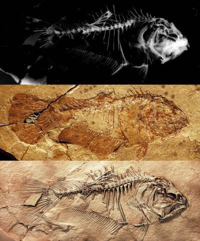 Fossil Might Unlock Secret to Flat Fish Evolution