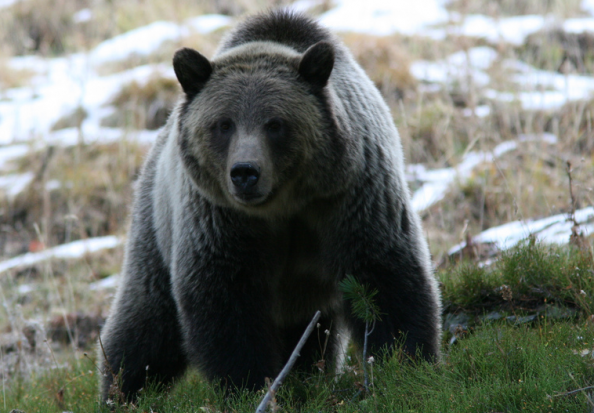 Grizzly Bear Kills Hiker in Yellowstone National Park