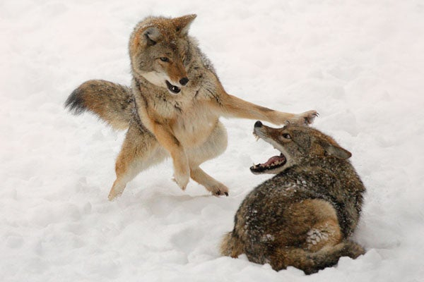 """""""coyote"""
