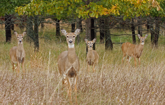 Deer Hunting: How Many Does to Shoot?