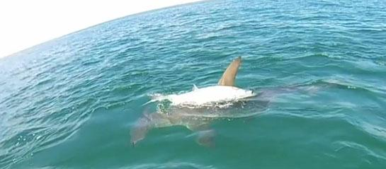 Video: Hammerhead Shark Attacks Tourney Anglers' Tarpon