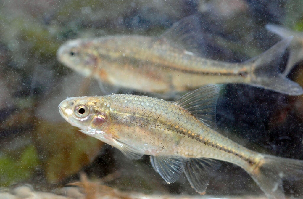 The U.S. Fish and Wildlife Service proposed Tuesday to remove the Oregon chub from its threatened status under the Endangered Species Act.