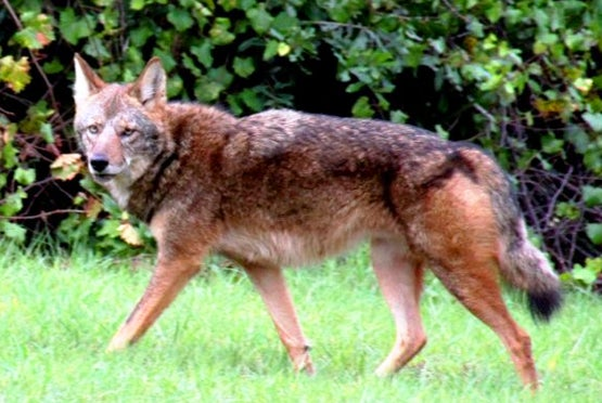 Almost Extinct Red Wolf Found in Florida Woman's Backyard?