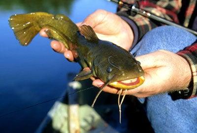 httpswww.outdoorlife.comsitesoutdoorlife.comfilesimport2014importImage2008legacyoutdoorlife125-catfish_12.jpg