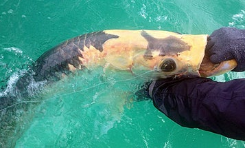 NY Angler Catches and Releases Rare Piebald Tarpon in Florida