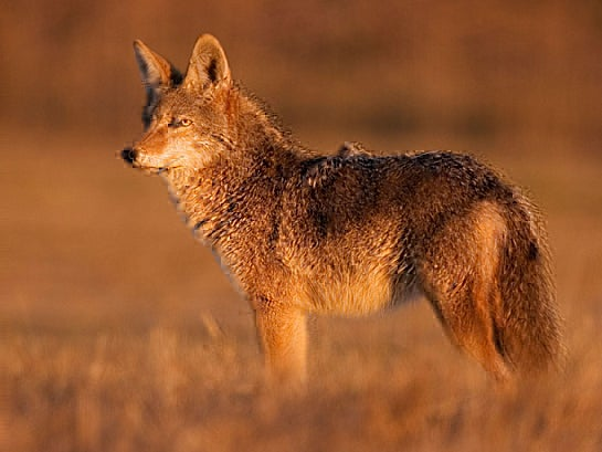 Wildlife Officials to Ban Coyote and Predator Contests in California