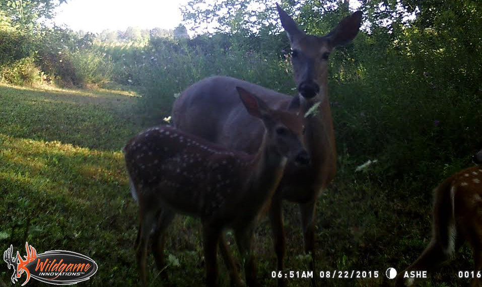 trail cameras, deer fawns, whitetail fawns, whitetail herd, whitetail management, deer herd management