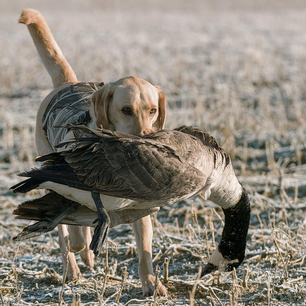 Yellow Lab retrieving a downed goose.