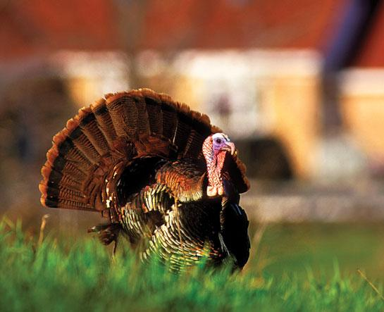 Backyard Birds: Turn Your Property Into a Turkey Hunting Hot Spot