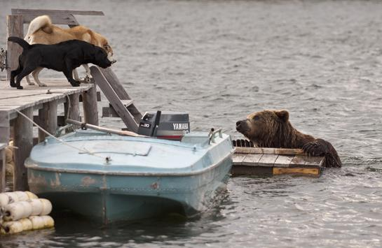 Sergey Gorshkov Photos: Dogs vs Russian Brown Bear
