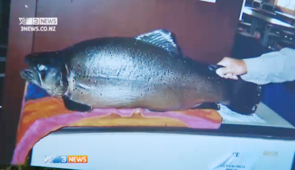 Monster New Zealand Brown Trout Could Be a World Record
