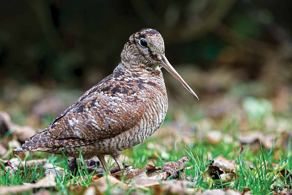 woodcock bird hunting season