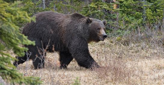 Grizzly Bears: Is it Time to Start Hunting Grizzlies in Montana?