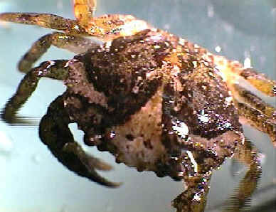 Asian Crab