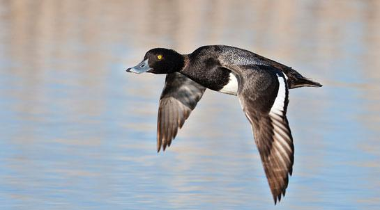 Duck Hunting: Tips for Small-Water Divers