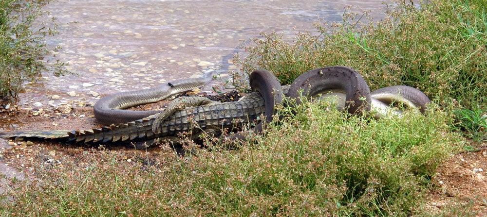 Photos: Python Kills and Devours Crocodile in Australia