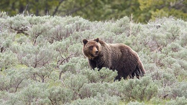 grizzly bear sow walking through brush