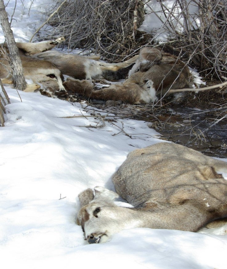 winter loss of mule deer
