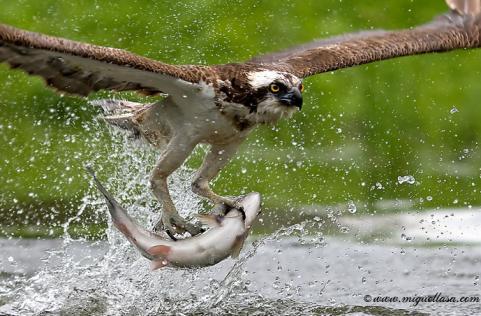 httpswww.outdoorlife.comsitesoutdoorlife.comfilesimport2014importImage2009photo616._osprey_2.jpg
