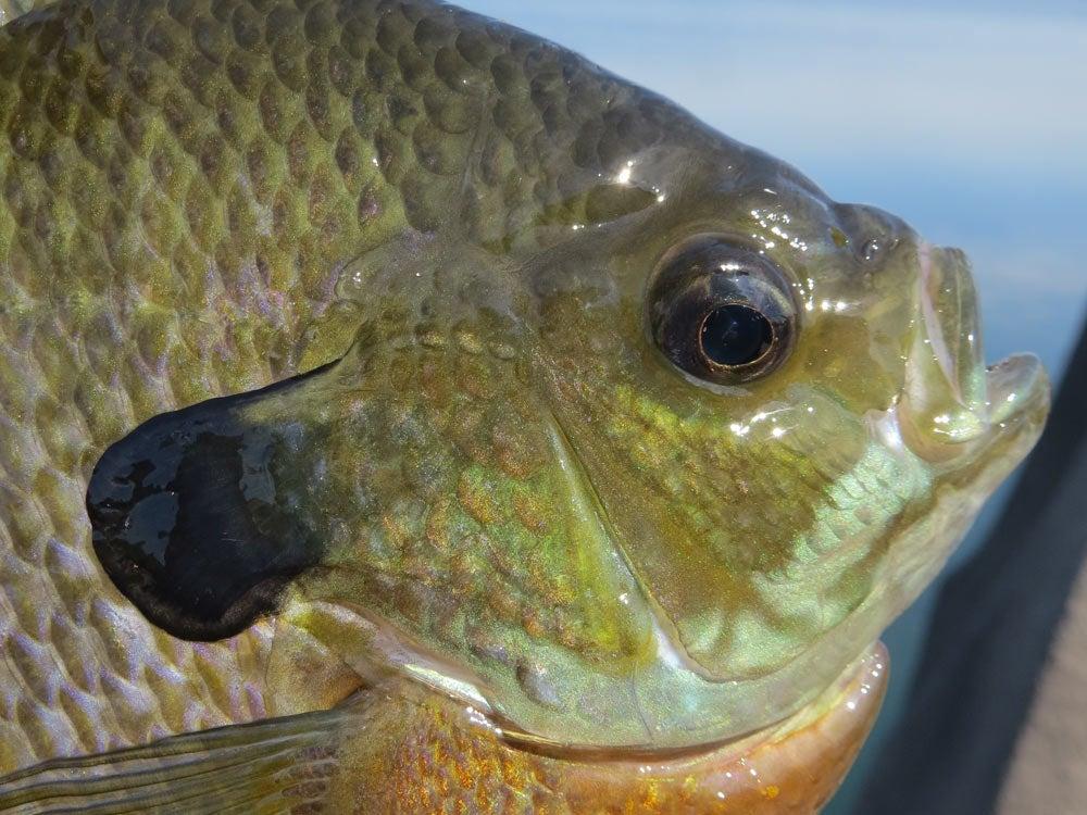 bluegill caught on live bait