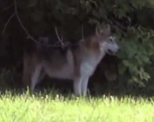 Wolf-Dog on the Prowl in Philadelphia?