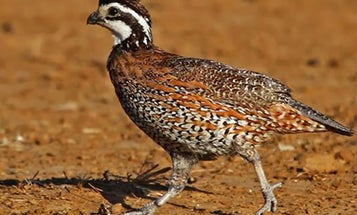 What Happened to Our Quail? Observations of an Old Quail Hunter