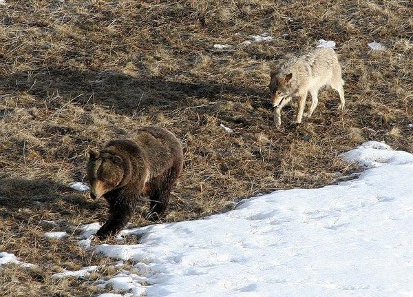 httpswww.outdoorlife.comsitesoutdoorlife.comfilesimport2013images20100815_800px-Wolfbear_0.jpg