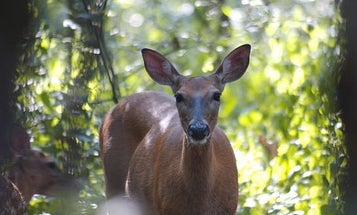 Video: New Study Sheds Light on What Deer See