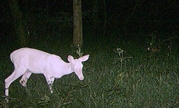Should Hunters Shoot Albino Deer?
