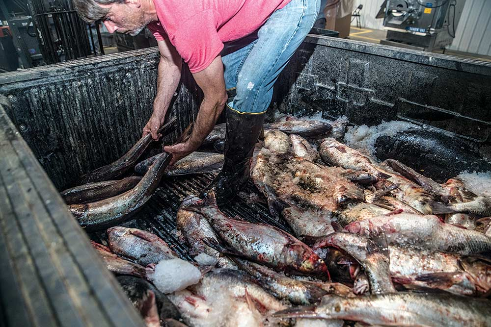 truck bed full of asian carp being unloaded