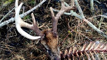 dead buck skeleton