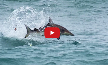 Video: Surf Fishing for Sharks with Artificial Lures