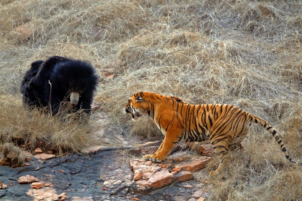 httpswww.outdoorlife.comsitesoutdoorlife.comfilesimport2014importImage2011photo10013215798_7_CATERS_Bear_tiger_08.jpg