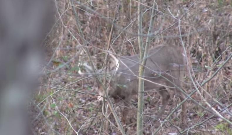 aging deer on the hoof
