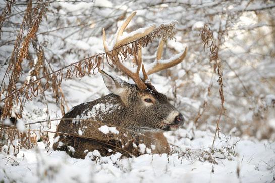 Bedded winter buck snow